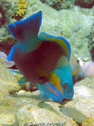 Parrotfish by Lucio Valgimigli