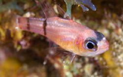 Juvenile Cardinal fish. Turks & Caicos by Andy Lerner