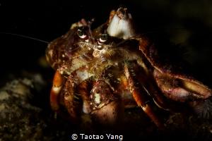 hermit crab by Taotao Yang