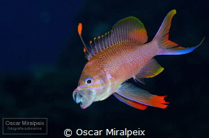 mediterranean anthias by Oscar Miralpeix