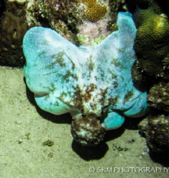 Blue Octopus. Grand Cayman, Night Dive. by Samantha Morgan