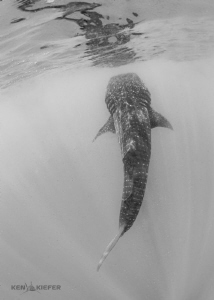 Just hanging out. whale shark suspended vertically amids... by Ken Kiefer