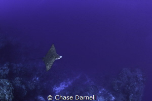 """""""Cruising""""  A Spotted Eagle Ray soars by the North Wall ... by Chase Darnell"""