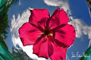 During camera system test - watery rose by Steven Anderson