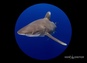 Oceanic Whitetip shot with a full frame 5D3 and 8mm fishe... by Ken Kiefer