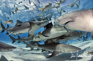Meet and greet at Tiger Beach - West End Bahamas by Steven Anderson