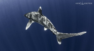 Oceanic Whitetip with a nice S-Curve as it slices the dee... by Ken Kiefer