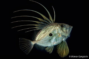 John dory, night dive by Marco Gargiulo