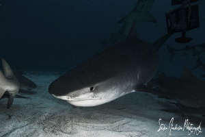 The edge of night brings the big ones in!!!! Tiger Shark ... by Steven Anderson