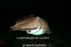 Cuttlefish @jetty padang bai by Wisnu Sulistio