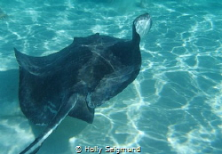 Taken at Stingray City off Grand Cayman Island. by Holly Seigmund
