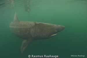 Basking shark cruising around near Isle of Coll - Scotland by Rasmus Raahauge