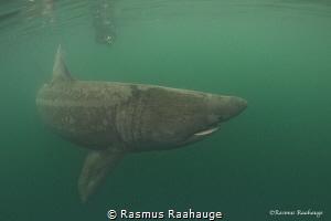 Basking shark cruising around near Isle of Coll - Scotland by Rasmus Raahauge