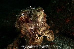 Cuttlefish at jetty dive spot by Wisnu Sulistio