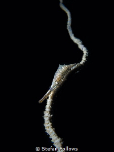 I'm An Upstart ... Sawblade Shrimp - Tozeuma armatum. Sai... by Stefan Follows