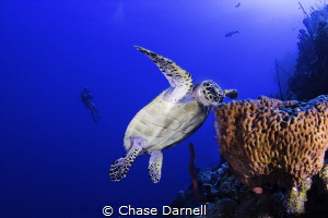 Diver observing a Hawksbill eat from the blue!  North Wa... by Chase Darnell