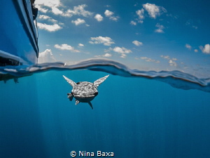 Tagalong ~ Whitefin Sharksucker prospecting a potential c... by Nina Baxa