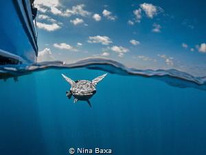 Tagalong ~ Whitefin Sharksucker prospecting a potential c... by Nina Baxa