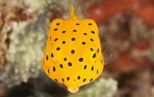 Yellow boxfish. by Mehmet Salih Bilal