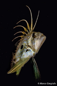 John Dory, night dive #2 by Marco Gargiulo