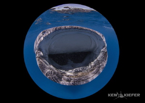 The fish eggs that the whale sharks are feasting upon are... by Ken Kiefer