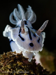 Chromodoris willani. Taken in Lembeh. by Christian Gloor