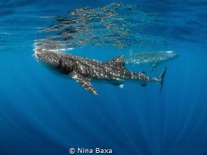 A serene pair of feeding Whale Sharks, a ballet couple co... by Nina Baxa