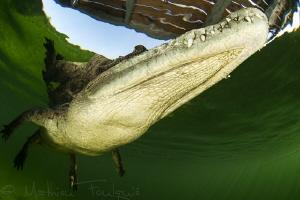 Crocodylus acutus3 by Mathieu Foulquié