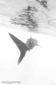 Remora hitching a ride on a whale shark's tail.  I wonder... by Ken Kiefer