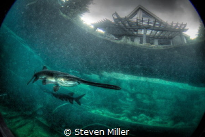 American Paddlefish, threatened species by Steven Miller