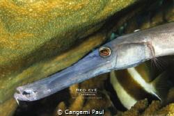 Trumpet fish portrait, Fakarava by Cangemi Paul