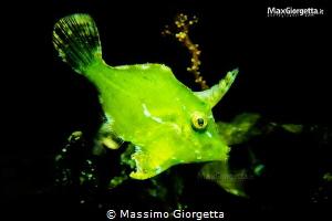juvenile green file fish by Massimo Giorgetta