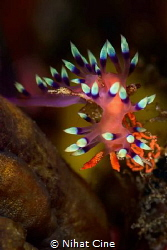 candles… (Nudibranch with eggs) by Nihat Cine