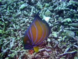 Angel Fish searching for food on Bermese Border. Dynamite... by Ryan Stafford