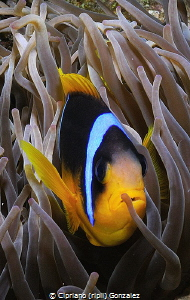 Red sea clown by Cipriano (ripli) Gonzalez