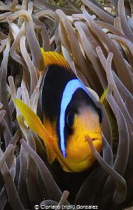 Red sea clown by Cipriano (ripli) Gonzalez