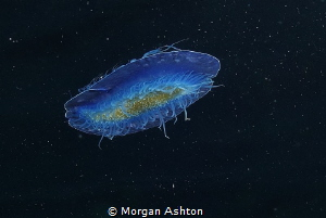 Velella velella from Below. I was stuck on the surface wa... by Morgan Ashton