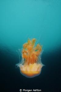 Jellyfish in Carmel, Ca. by Morgan Ashton