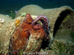 Reef octopus cleaning itself with its tentacle like a cat by Laura Dinraths
