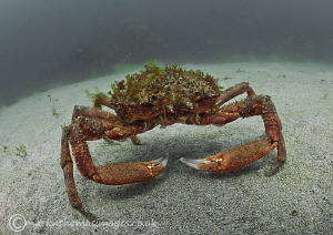 Spider crab - Anchor Bay, Connemara by Mark Thomas