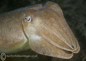 Cuttlefish - Cornwall by Mark Thomas