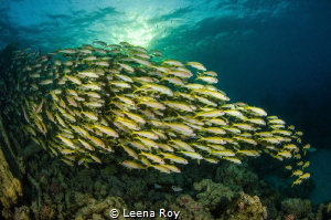 Goatfish shoal at sunset by Leena Roy