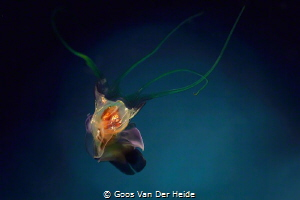 Sea Butterfly (5mm) by Goos Van Der Heide