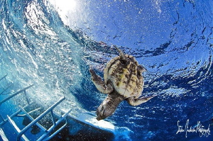 Diver Down Baby Turtle! This image was taken in the Gulf ... by Steven Anderson
