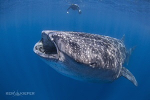 My friend looks rather insignificant behind a large whale... by Ken Kiefer