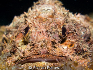 Gotta' laugh ... Raggy Scorpianfish - Scorpaenopsis venos... by Stefan Follows
