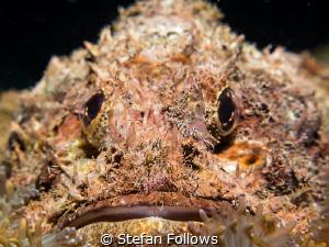Gotta' laugh ... Raggy Scorpianfish - Scorpaenopsis venos... by Stefan Follows