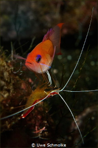 Anthias needs cleaning by Uwe Schmolke
