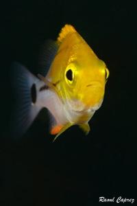 Tiny yellow submarine by Raoul Caprez