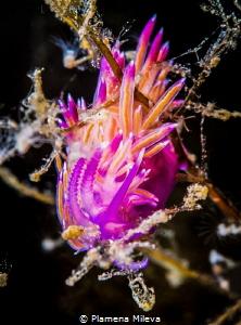 nudibranch (Flabellina affinis) by Plamena Mileva